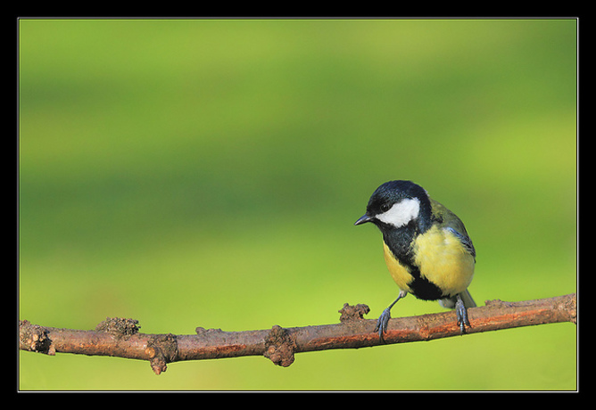 Early rising male Great Tits can get the sexy stuff over with and spend the res of the day looking fabulous. Israel Gutiérrez/flickr